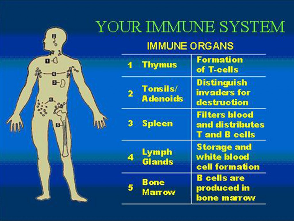 Immune System2 1024x770 - Autoimmune Diseases: How Does Cannabis Help?